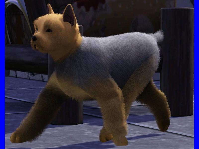 Lizarddaughter S Yorkshire Terrier